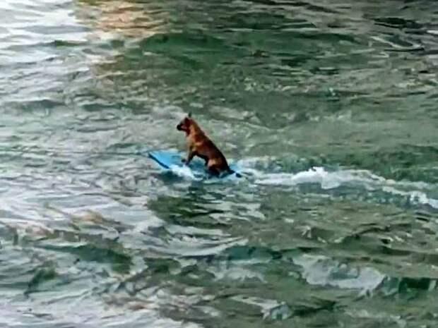 Пес-серфингист набирает популярность в Сети