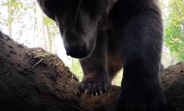 Как медведь роет берлогу на зиму: видео изнутри