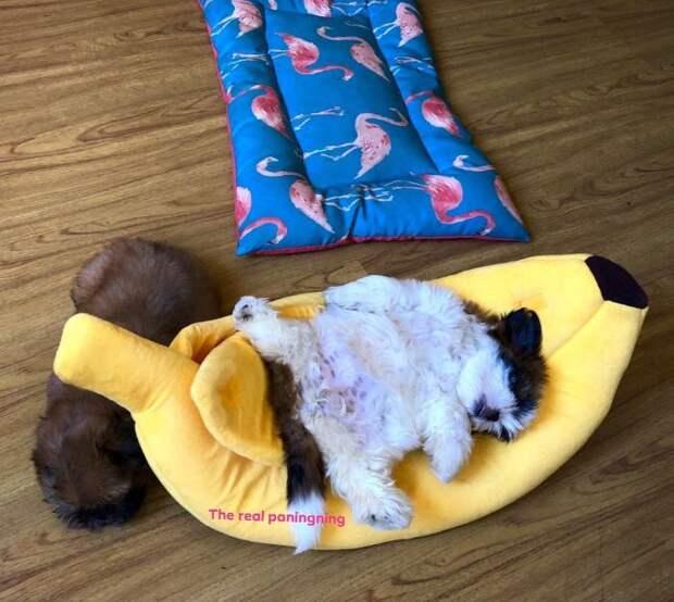 5 фото щеночка, который спит на спине как человек