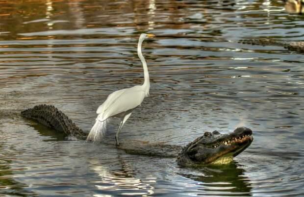 Цапля покаталась на крокодиле