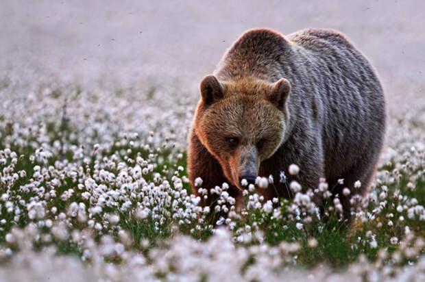 Медведь и цветы хлопка ранним утром.