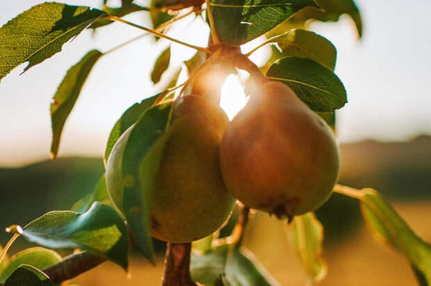 Груша: польза и вред для организма, витамины и полезные свойства