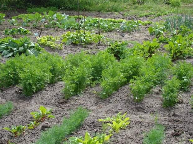 Гряда моркови до прореживания