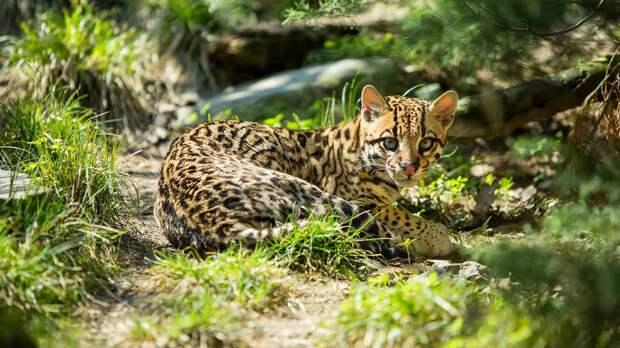 Кошка оцелот – леопард в миниатюре.