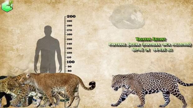 Видео: Сравнение размеров живых и вымерших ягуаров и леопардов