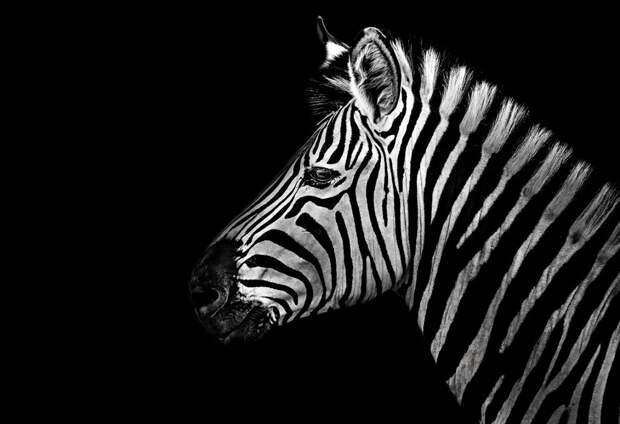 zhivotnye 5 Черно белые портреты диких животных