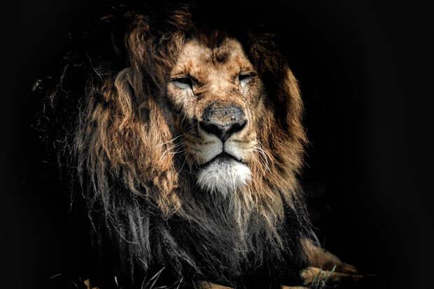Восемь львов заразились COVID в индийском зоопарке