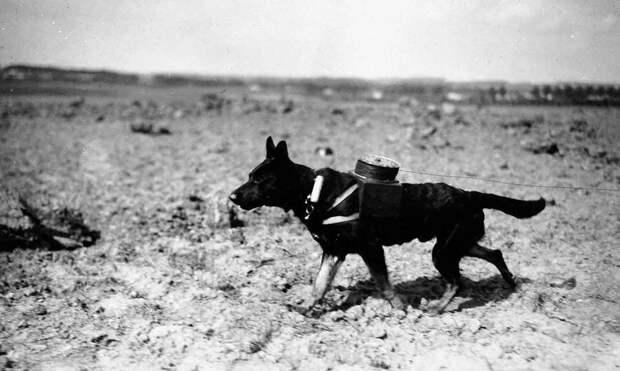 Рекс - собака-связист