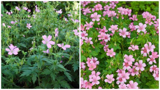 Герань Эндресса Wargrave Pink. Фото с сайта davisla.wordpress.com. Герань Эндресса, цветки крупным планом. Фото с сайта www.gardenia.net