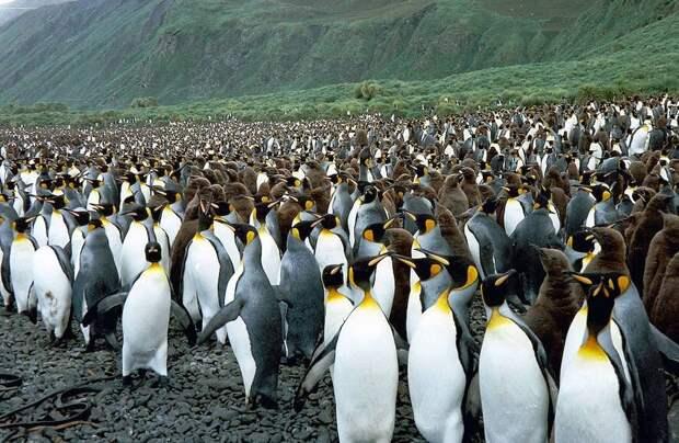 Австралийский остров, где пингвинов больше, чем людей