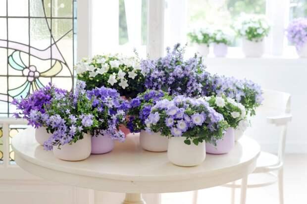 Кампанула как вырастить цветок семейного счастья