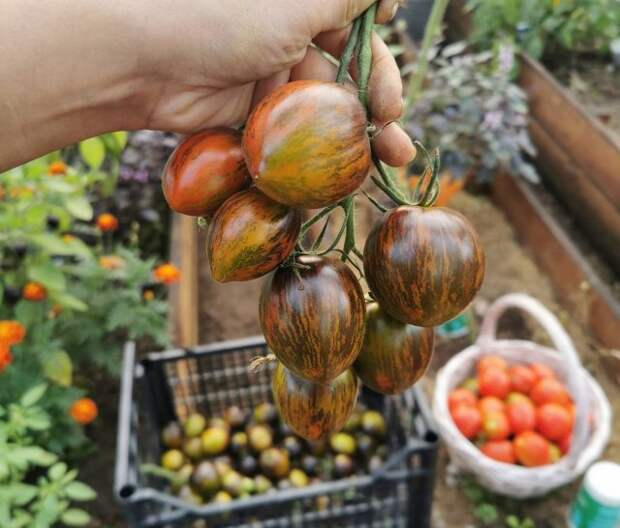 сорт томата Атомный виноград Брэда