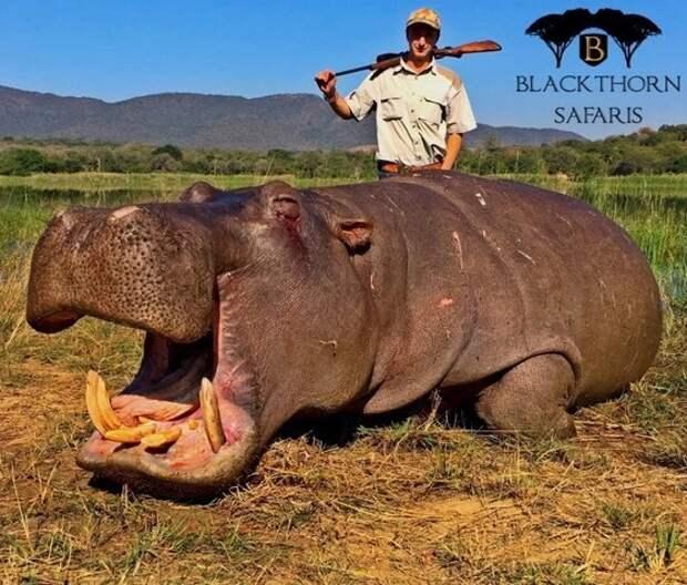 Узаконенное убийство: защитники животных выступают против охоты затрофеями вЮжной Африке