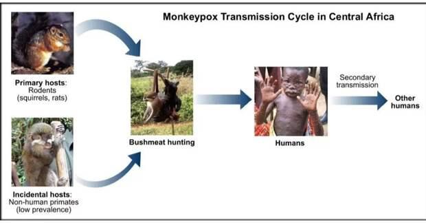На место чёрной оспы метит оспа обезьян., изображение №3