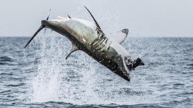 Белая акула ловит тюленя