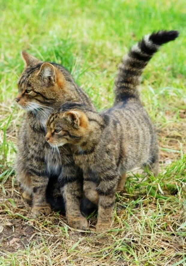 20 великолепных кошек, исчезающих в дикой природе