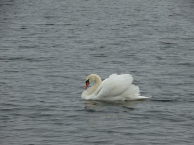 Лебеди – это песня!