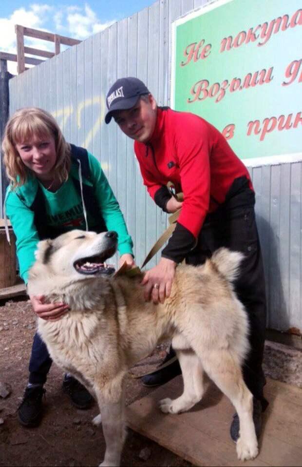 Беспризорный маламут с надеждой заглядывал в глаза людям большая собака, история, маламут, порода, приют, собака