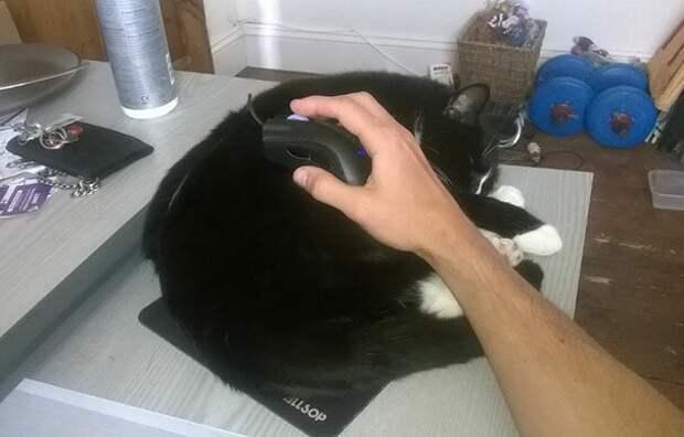 42. Спящие коты могут приносить пользу! животные, забавно, забавные животные, кот, коты, кошки, приколы с животными, смешно