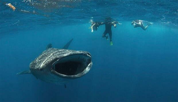 Встреча с китовыми акулами
