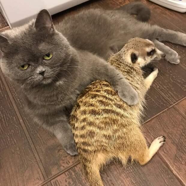 Спасенный из контактного зоопарка сурикат не просто подружился с котом, но и считает его вожаком