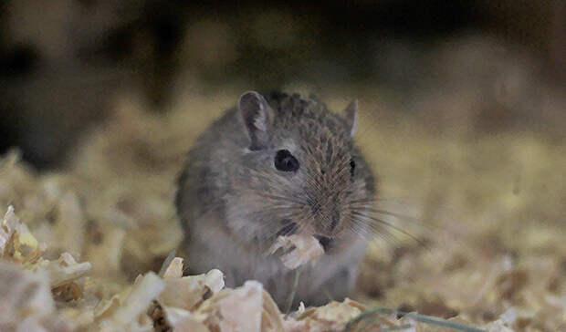 Под хвост: что мешает Петрозаводску справиться с нашествием крыс