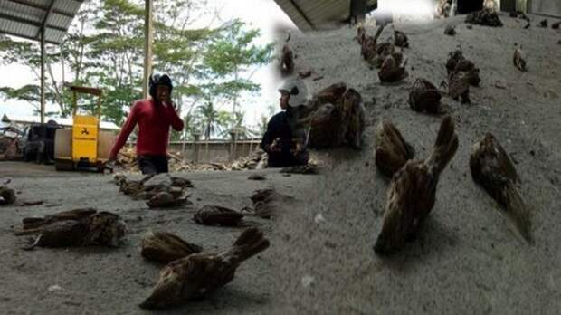 На острове Бали масса мертвых птиц падает с неба