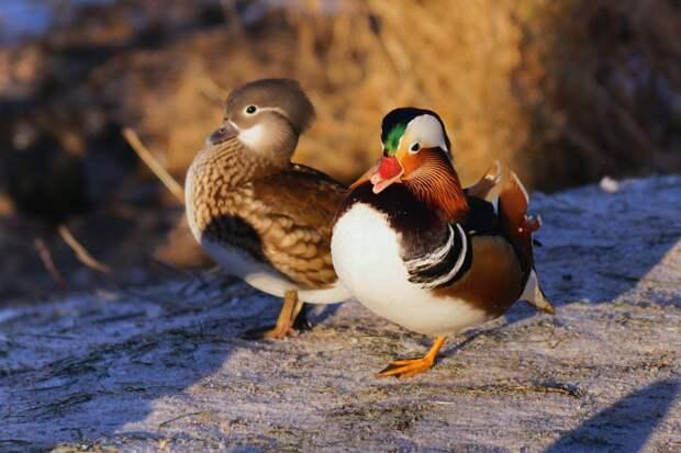 Фото дня: редких птиц запечатлели на Яузе