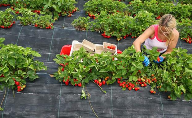 Смотрим, как сажают клубнику в Германии. Прокладывают полиэтиленом и собирают по лукошку с куста