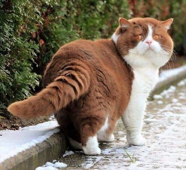 Еще один котик, который очень хорошо питается
