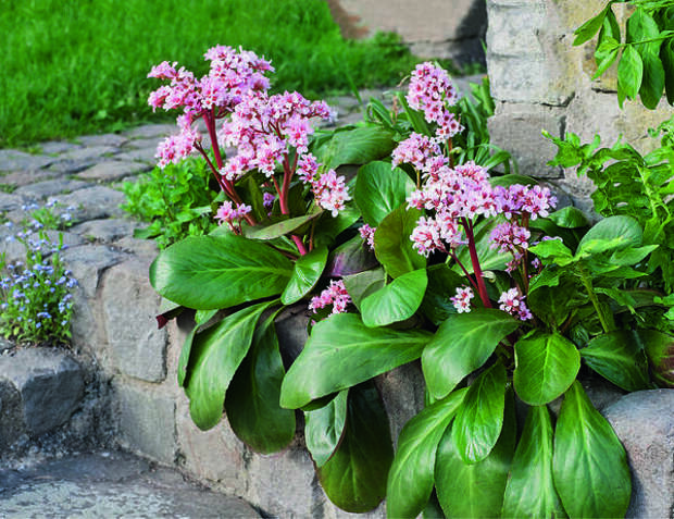 Бадан прекрасно растет в альпинариях и приподнятых цветниках с каменными подпорными стенками. Однако очень засушливым летом растение на таких открытых местах нужно обильно поливать.