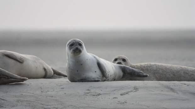 Российские ученые обнаружили более 150 погибших тюленей на побережье Каспийского моря