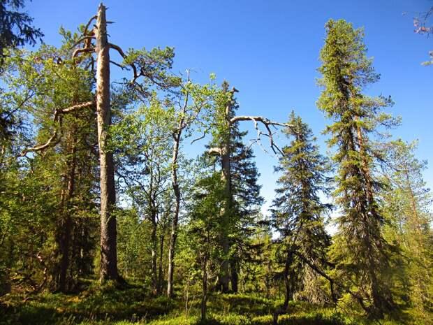 Старый лес.
