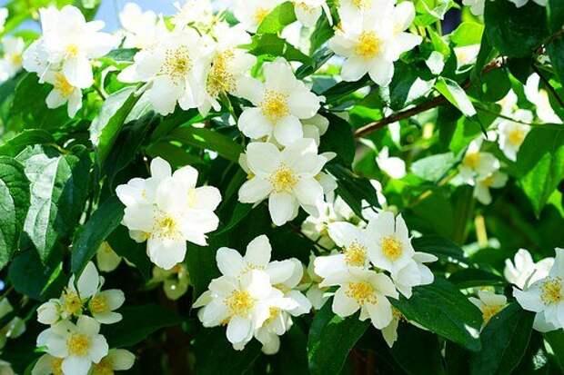Чубушник, Жасмин, Цветы, Белый
