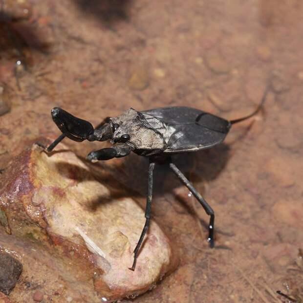 В длину водяные скорпионы достигают 2 сантиметров. Обитают в стоячей воде, озерах или реках с очень медленным током воды и большим количеством водорослей и камышей. Ведут довольно пассивный образ жизни, иногда спускаются на глубину для охоты