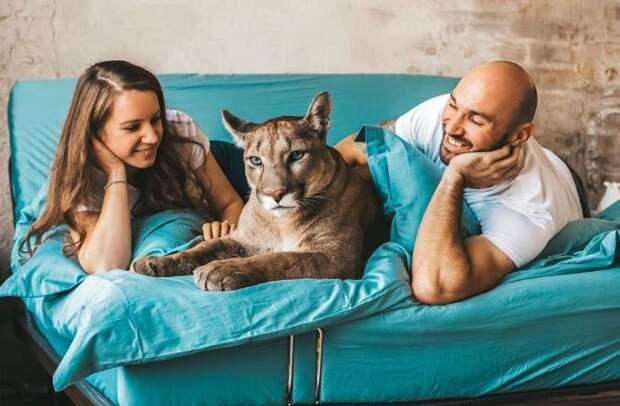 Пара из Пензы спасла пуму. Она теперь живет с ними, как обычная избалованная кошка