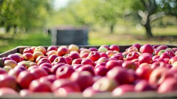 Российские контрсанкции привели к падению рентабельности польских яблок