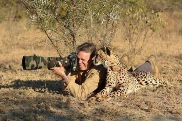 Фотограф слишком спокоен для того, кто лежит рядом с гепардом! животные, забавно, неожиданно, нужный момент, подборка, природа, фото, юмор