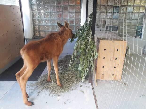 Красноярский зоопарк приютил лосенка, найденного пенсионерами на даче
