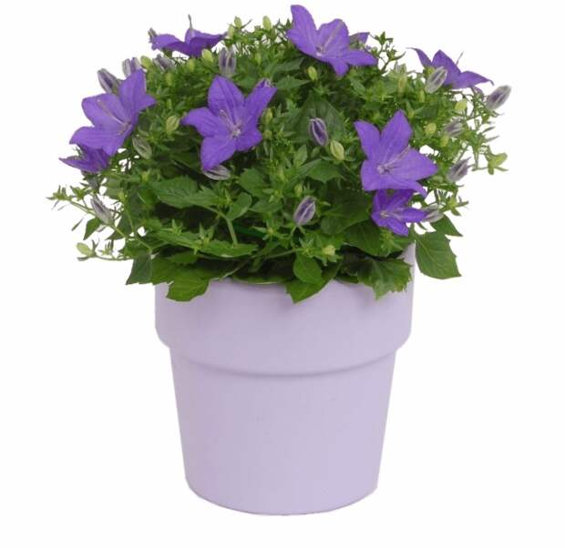 Кампанула: выращиваем цветок семейного счастья