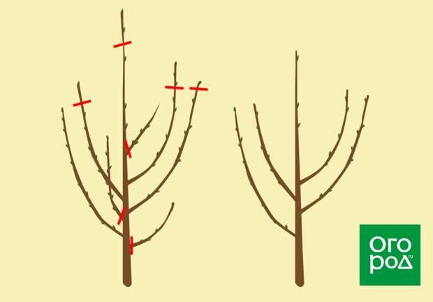обрезка вишни в год посадки