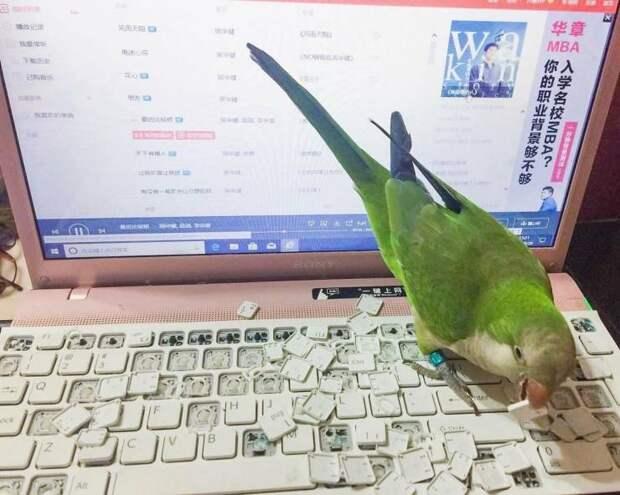 Попугай испортил ноутбук