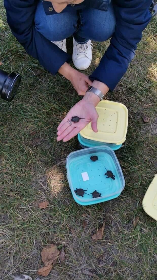 Первый искусственно воспроизведенный выводок краснокнижной черепахи отправили в плавни Анапы
