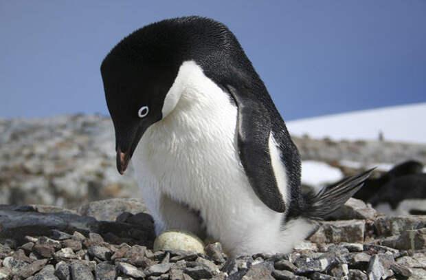 Ученые обнаружили колонию пингвинов, существующую уже 3 тысячи лет