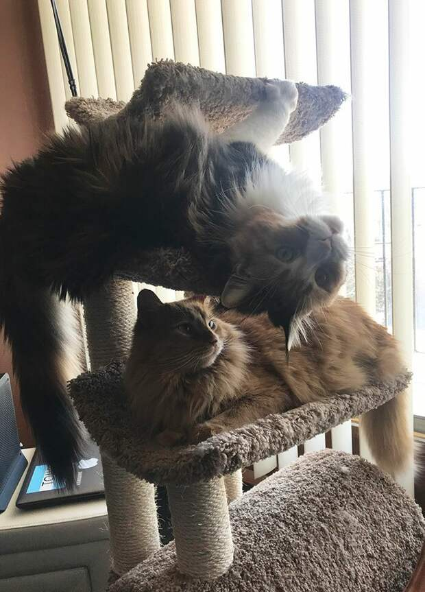 Эти коты все перевернут с ног на голову! И даже себя! домашние животные, животные, забавно, кошки, мило, мэйкуны, очаровательно, смешно