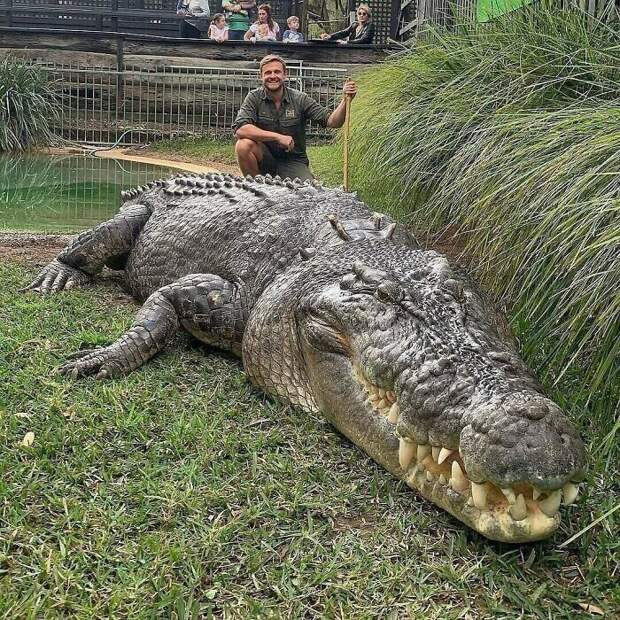 Элвис живет в Австралийском парке рептилий. Он самый большой в мире морской крокодил