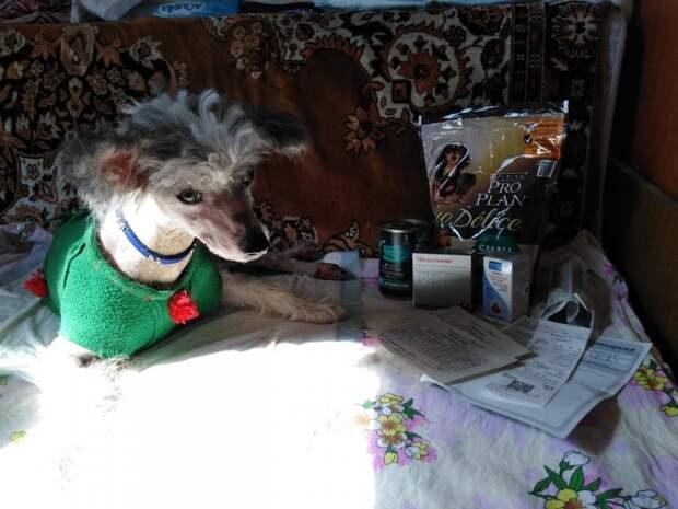 Породистого больного пса выкинули у теплотрассы инвалид, китайская хохлатая, порода, приют, собака, спинальник