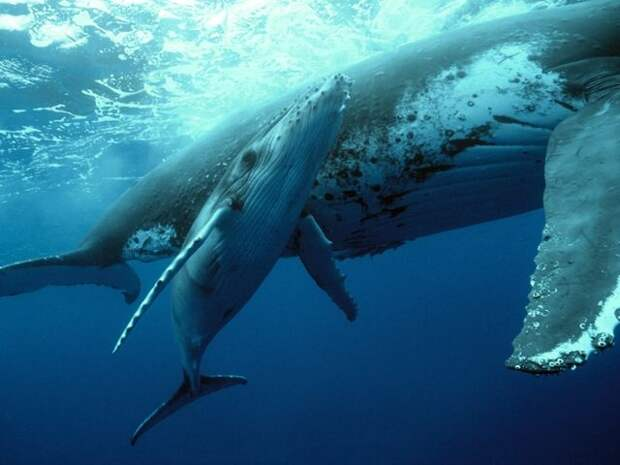 Размножение горбатого кита