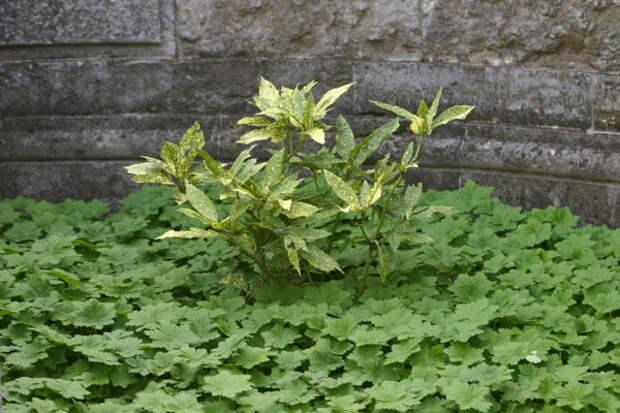 Герань крупнокорневищная образует красивый плотный покров из листьев в полутени и на солнце