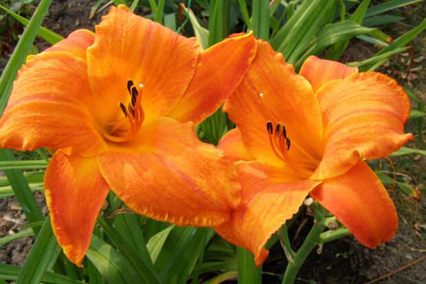 Лилейник оранжевый 'Mauna Loa', купить, фото